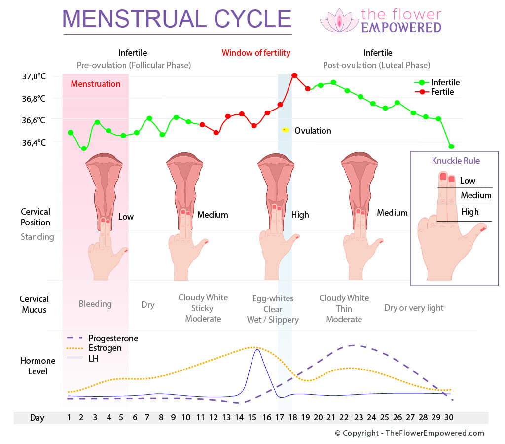Menstrual Cycle - © Copyright - TheFlowerEmpowered.com