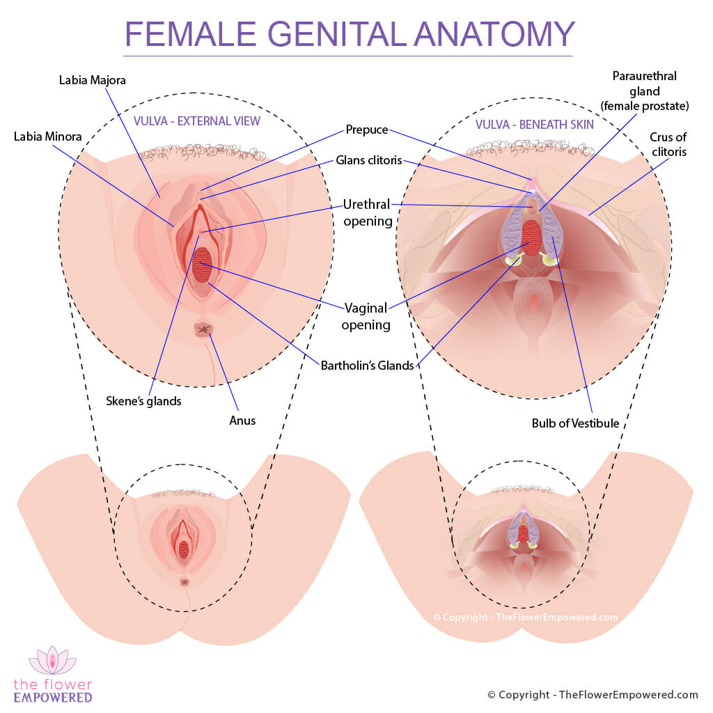 Female Genital Anatomy © Copyright - TheFlowerEmpowered.com