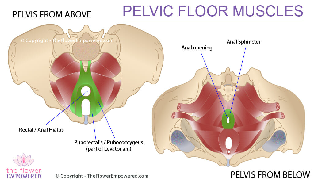 Pelvic Floor Muscles - Fecal Incontinence © Copyright - TheFlowerEmpowered.com
